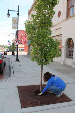 A member of the Homestead team leveling mulch for a tree in downtown Albion.